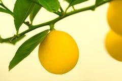 Limões em uma árvore Fotografia de Stock Royalty Free