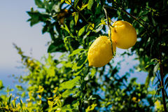 Limões em uma árvore Mar Mediterrâneo e céu no fundo Amalf Imagem de Stock