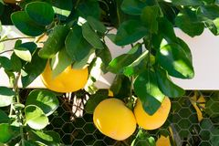 Limões em uma árvore que pendura sobre uma cerca fotografia de stock royalty free
