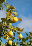 Limões maduros Fotos de Stock