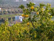 Limões maduros que penduram em uma árvore Itália fotografia de stock royalty free