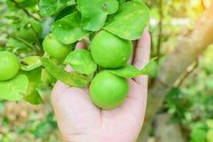 Limões na árvore Imagens de Stock