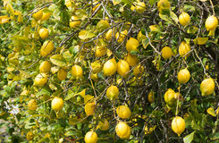 Limões na árvore Imagem de Stock Royalty Free