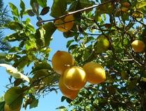 Limões na árvore de limão fotografia de stock royalty free