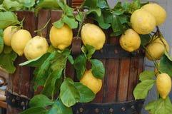 Limões orgânicos frescos Fotografia de Stock