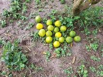 Limões orgânicos recentemente escolhidos verdes e amarelos na terra da exploração agrícola imagem de stock