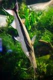 Lima Shovelnose Catfish Fotos de archivo libres de regalías