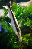 Lima Shovelnose Catfish Royalty Free Stock Photos
