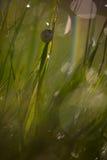 Ślimaczek na badylu trawa Zdjęcia Royalty Free