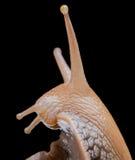 Ślimaczek na czarnym tle makro- Fotografia Stock