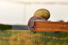 Ślimaczek na gospodarstwie rolnym na drewnianej strukturze w skorup spojrzeniach zestrzela Fotografia Royalty Free