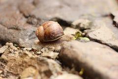Ślimaczek na kamieniu Zdjęcie Royalty Free