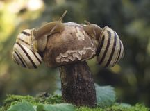 Ślimaczek Na pieczarce Zdjęcie Royalty Free