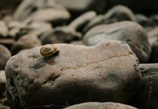 Ślimaczek na skale Zdjęcia Royalty Free