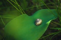 Ślimaczek na zielonym liściu Zdjęcie Royalty Free