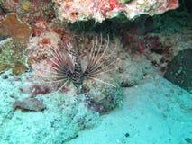 Ślimaczek ryba Obrazy Stock