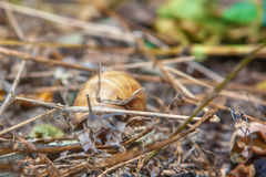 Ślimaczek w dzikim Fotografia Royalty Free