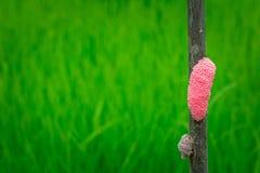 Ślimaczków jajka Obraz Stock