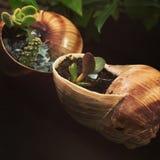 Ślimaczka kaktus Zdjęcie Royalty Free