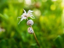Ślimaczki na kwiacie Obrazy Royalty Free