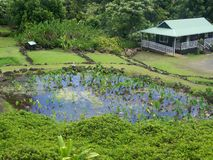 Limahuli trädgård, Northshore Hawaii Royaltyfri Bild