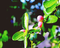 Limb,stalk, Leaves and pink fruit with soft light. Limb, stalk, Leaves and pink fruit with soft light Stock Images