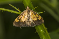 Limbata di evergestis del lepidottero di Pyralid Fotografia Stock Libera da Diritti