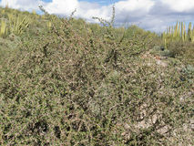 Limber Bush Jatropha cuneata in Sonoran Desert. Limber Bush, Jatropha cuneata, in Sonoran Desert landscape has sap that contains a red dye royalty free stock photos