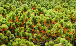 Limber Pine Tree Background Royalty Free Stock Images