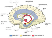 The limbic system. Cross section through the brain showing the limbic system and all related structures Stock Photography