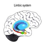 Limbic system. Cross section of the human brain. Anatomical components of limbic system: Mammillary body, basal ganglia, pituitary gland, amygdala, hippocampus stock illustration