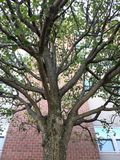 Limbs of a tree. Stretched out limbs and branches of a tree Royalty Free Stock Images