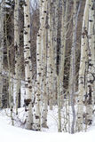 Limbs of trees in the northern utah mountains in the winter. Limbs of the  trees Winter scene in northern utah with frozen lake in background Stock Photography