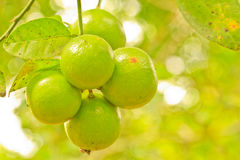 Lime. Tree and leaf background royalty free stock photo
