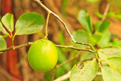 Lime. Tree and leaf background royalty free stock photos