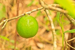 Lime. Tree and leaf background royalty free stock images