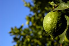 Lime. Green lime on the tree stock photos