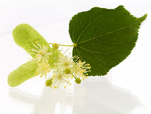 Lime. Branch and fruits of lime blossom isolated in a white background stock photography