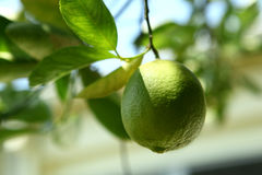 Lime. A green fresh lime fruit hanging on a lime tree royalty free stock photos