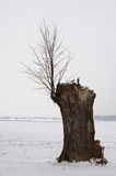 Lime. Alone tree in the winter countryside Royalty Free Stock Photo