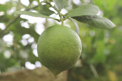 Lime. Background fruit tree s white citrus ripe food fresh green organic leaf closeup lemon nature color garden field healthy natural plant health outdoors stock photos