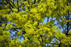 Lime blossom Royalty Free Stock Images