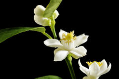 Lime blossom Stock Image