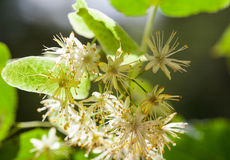 Lime blossom Royalty Free Stock Photography