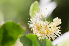 Lime blossom Stock Images