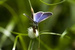 Lime Blue - Chilades Lajus - Butterfly - Female Stock Images