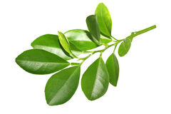 Lime Branch royalty free stock photo