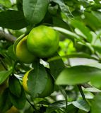 Lime on branch in plantation royalty free stock image