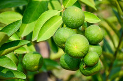 Lime is a bunch on a lemon tree. Stock Photo