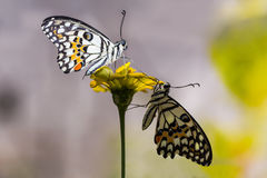 Lime butterflies on flower Royalty Free Stock Photo